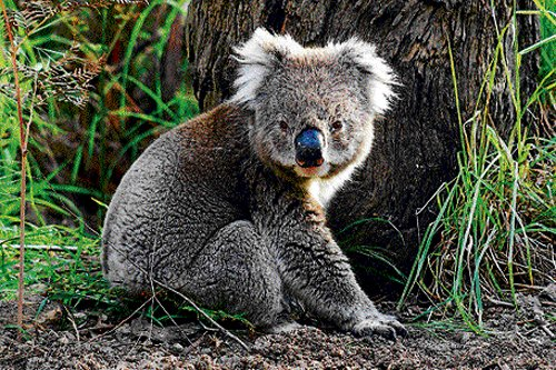 Behind the call of male koalas