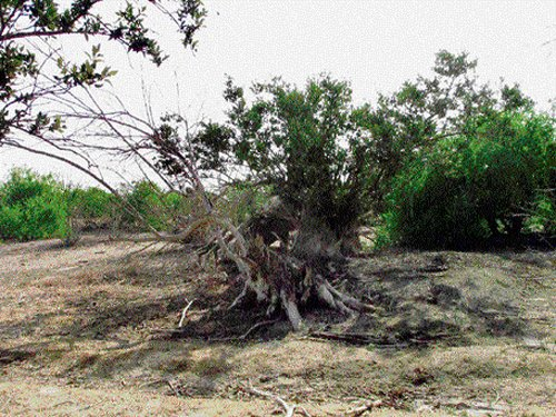 Saving mangroves