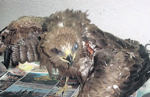 Thread used for kites puts Black Kites in peril