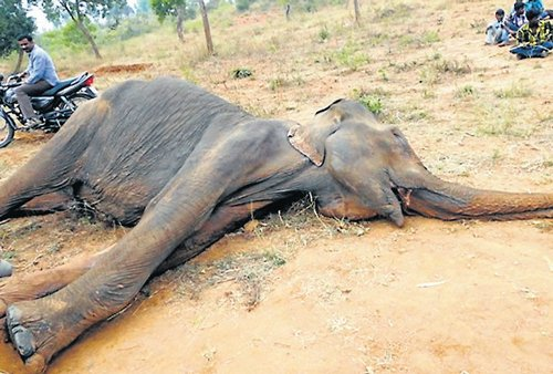 Female elephant succumbs to 'starvation'