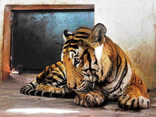 Human-tiger conflict creating more man-eaters