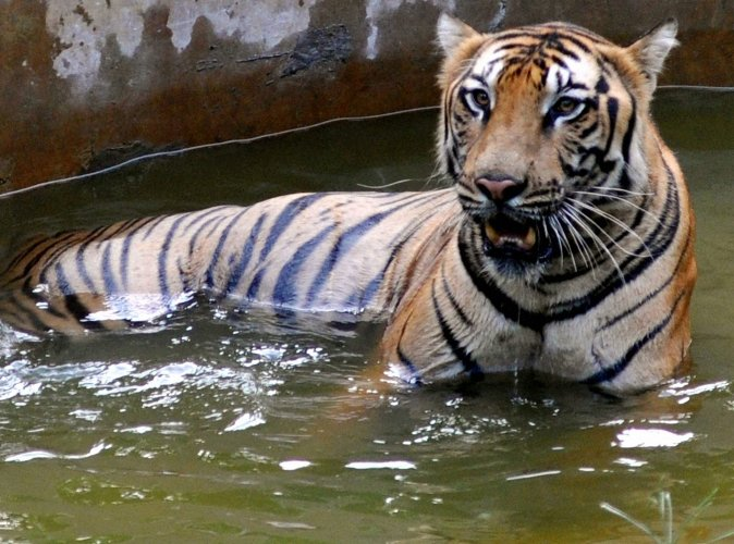 Phase-I of data collection completed in Tadoba tiger reserve
