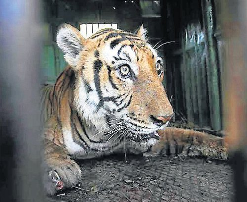 Tiger Shiva unlikely to be put on display