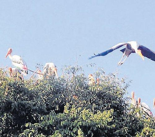Kokkare Bellur springs to life again