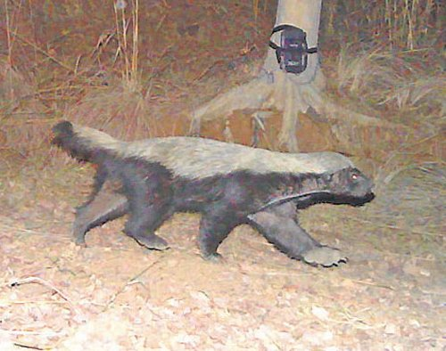 Elusive mammal ratel captured on camera at CWS