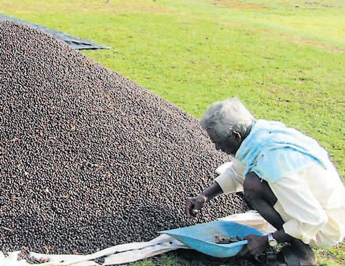 Few takers for rainfall insurance scheme for coffee