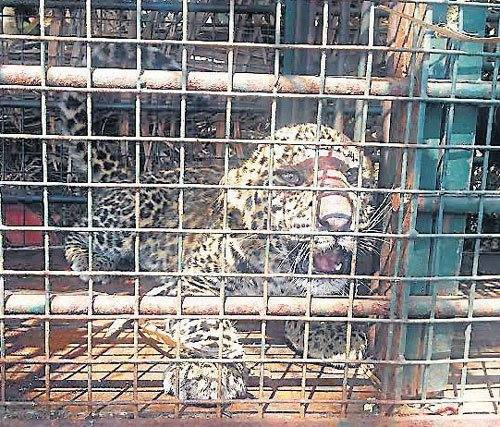 Injured cub left in lurch; agitated villagers oppose shifting