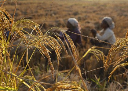 India fourth largest grower of GM crops, says survey