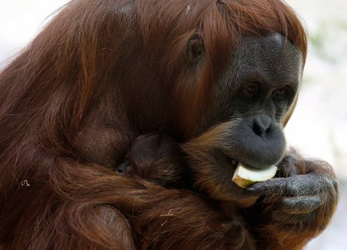 Humans drove orangutans to leave trees for ground