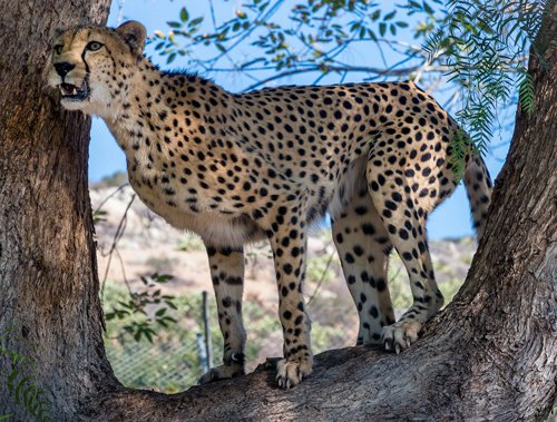 Rs 260 cr plan to reintroduce cheetah in India