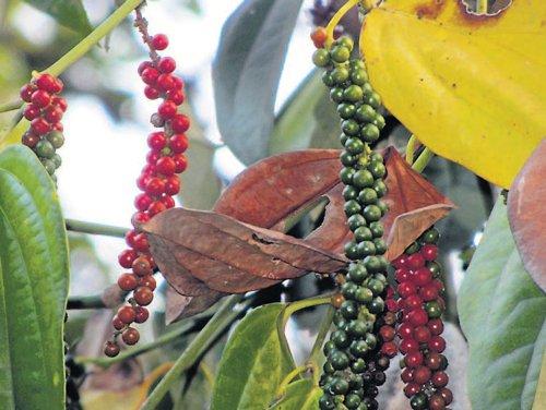 Farmers worry as pepper vines turn brown in Napoklu