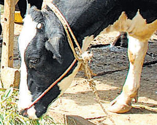 62 oxen saved from slaughtering, court stays release to owners