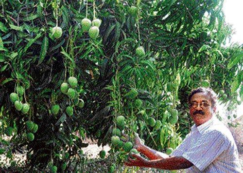 Mango bonanza from barren land