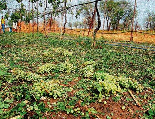 In drought-hit Bijapur, rain brings misery to farmers
