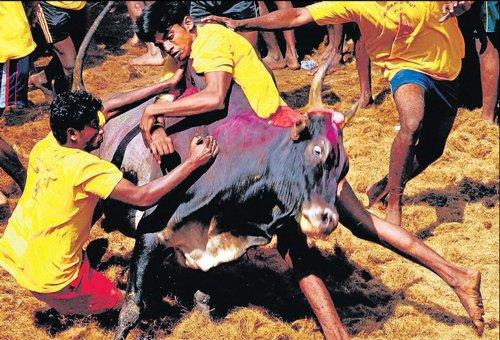 SC bans Tamil Nadu bull fights