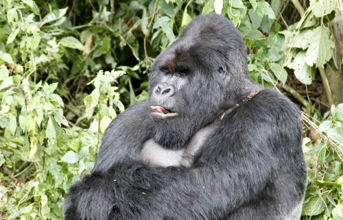 Do not import gorillas to Indian zoos, appeals NGO
