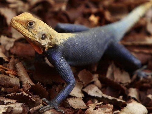 New lizard species named after Mumbai scientist