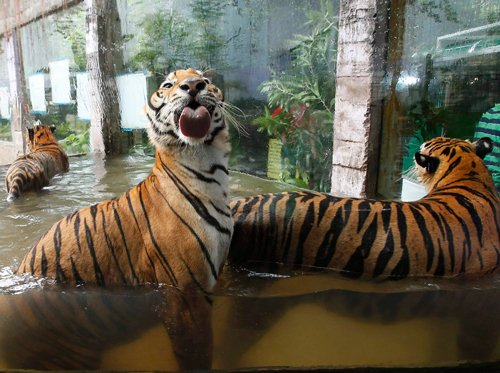 Two tigers at an average are killed per week: WWF