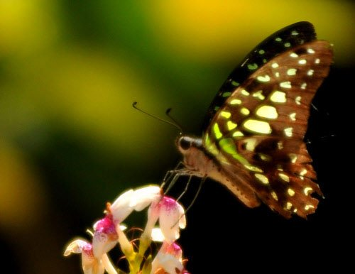 In a first, butterfly wing colours changed in lab