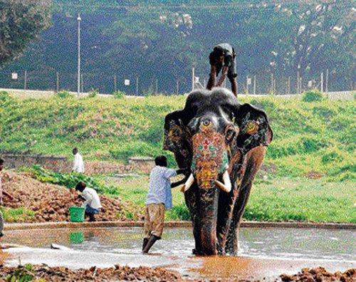 Royal bath for Dasara jumbos