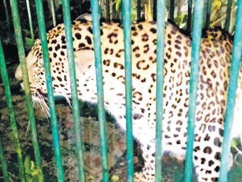 Leopard captured at Koodlur layout