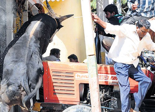 Four injured as bull goes on the rampage