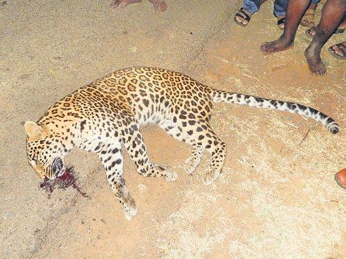 Leopard found dead in Shikaripur