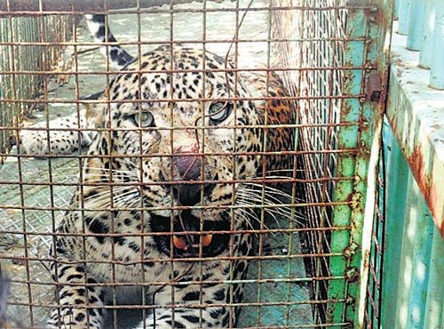 Leopard escapes from cage, attacks 2