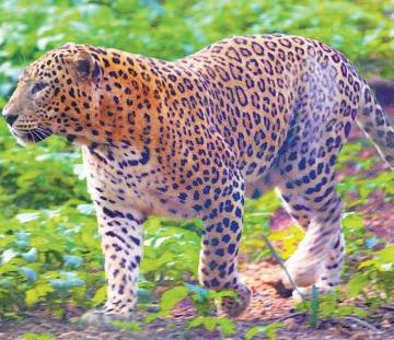 Exclusive leopard safari in Bannerghatta park soon