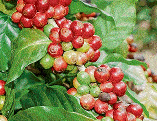 Coffee beans: sex haven for tiny beetles