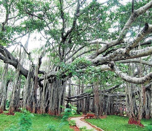 Big Banyan Tree gets bigger, needs more space