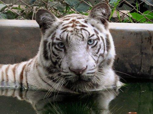 White tiger dies suffering snake bite