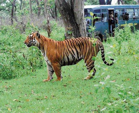 Govt 'ignored' expert warning against releasing tiger