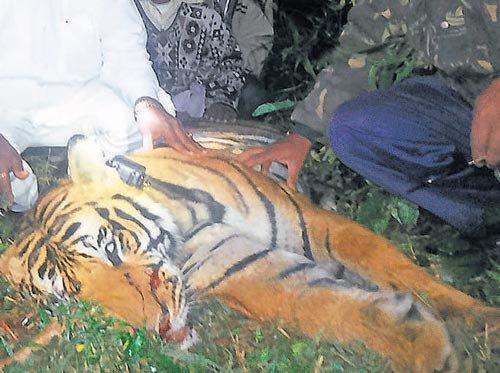 Man-eater tiger shot dead, finally
