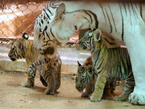 Zoo hopeful of reviving abandoned tiger cub
