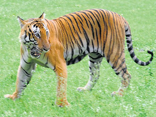 MoEFapproves tiger conservation plan for State