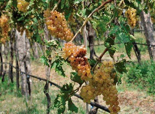 Showers put paid to grape growers' hopes in Vijayapura