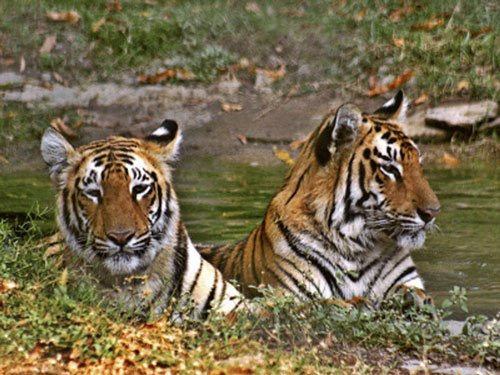 DNA analysis confirms Zoo's hunch of relationship between tigress, cub