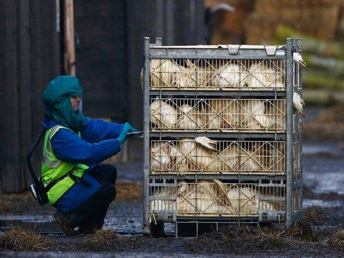 UP orders culling of  fowls after  bird flu alert