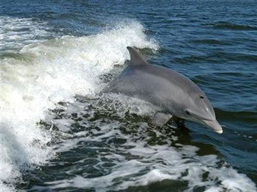 Campaign to protect Gangetic dolphins