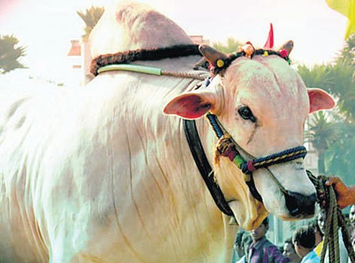 Brazil on an embryo hunt for Ongole breed