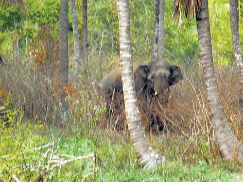 Jumbo scare in Mandya village