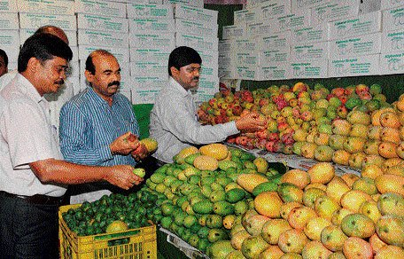 Unseasonal rain hits mango yield this year