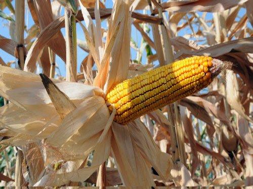Canada detains 'toxic' corn shipments from India