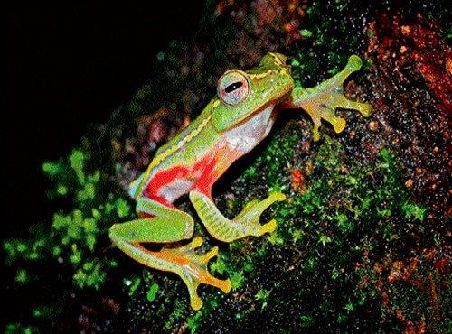 Rediscovered frog species exhibits rare behaviour