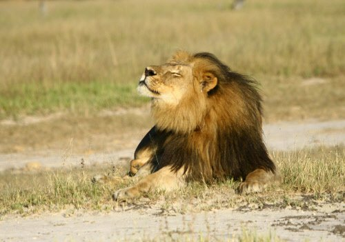Rival lion kills one of Cecil's cubs