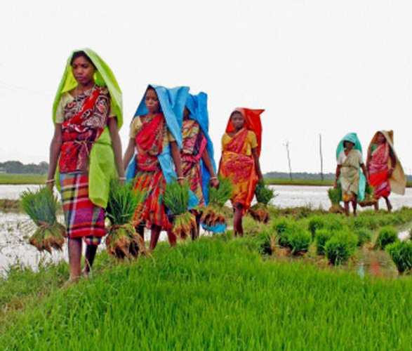 Foodgrain output down by 5 per cent in 2014-15