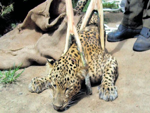 Rescued leopard dies as treatment fails