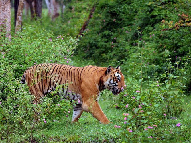 Tiger jumps over fence, creates scare in Hyd