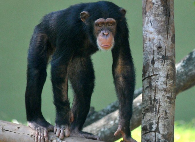 Chimps, like humans, remember movie scenes